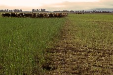 Bull graze cereal rye cover crop. Paturage de taurillons d'un couvert de seigle. La pampa, Argentina