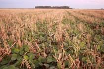 Soja semé à 23cm dans un seigle patûré une fois par des taurillons en début d'engraissement. Soybean drilled (23cm) into a cereal rye grazed once. La Pampa, Argentina
