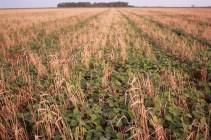 Soja semé à 23cm dans un seigle patûré une fois par des taurillons en début d'engraissement. Soybean drilled (23cm) into a cereal rye grazed once. La Pampa, Argentina.