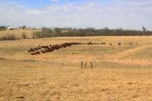 Denis Mc Donald - Pâturage tournant depuis plus de 30 ans. L'hiver les bovins continuent de pâturer. Pour tout l'hiver, l'éleveur donne une seule balle de foin/vache+veau. Les balles sont déroulées sur les paddocks. https://resilientagriculture.wordpress.com/2017/03/20/dennis-et-becky-mc-donald-paturage-tournant-depuis-plus-de-30-ans/