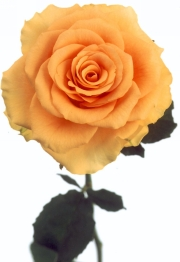 gold_rose