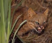 Pampas Cat - Oncifelis colocolo