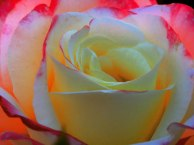 rose-for-you-web