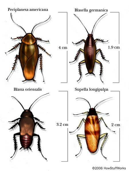 How Many Baby Roaches Are In A Egg : roaches, Cockroach, Cycle, Behavior, HowStuffWorks