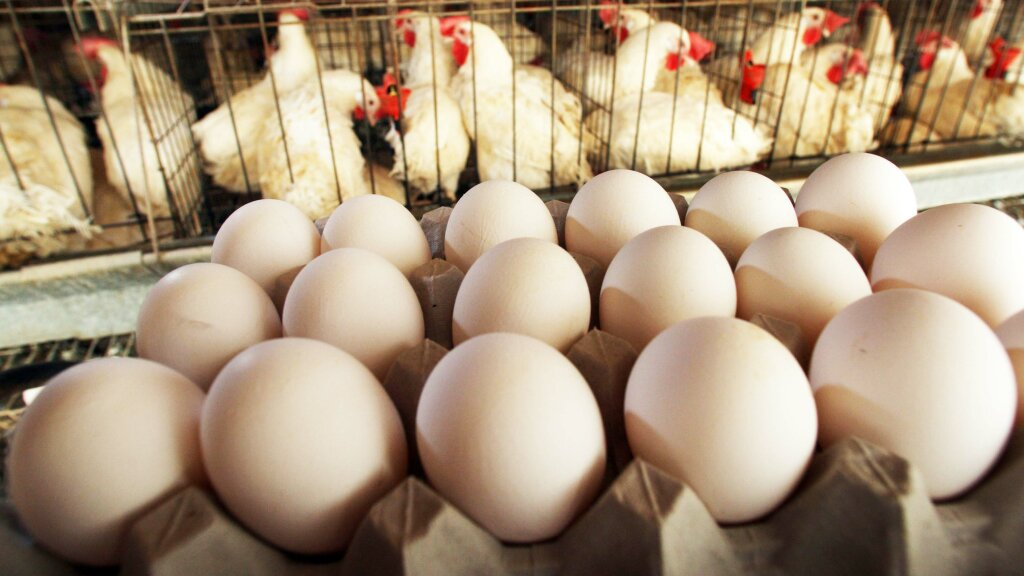 How Can You Tell if a Chicken Egg Is Fertilized ...