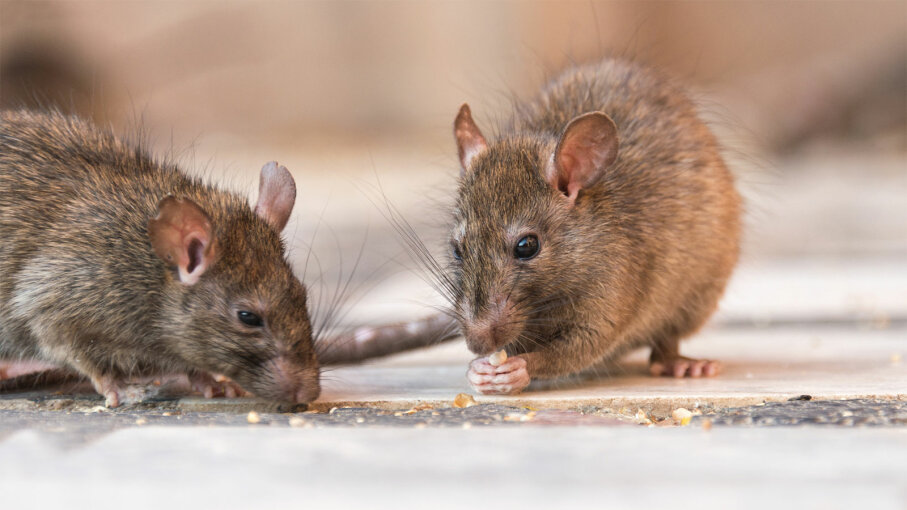 How to Get Rid of Rats | HowStuffWorks