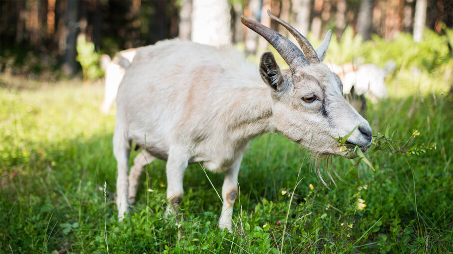 grass gobbling goats are