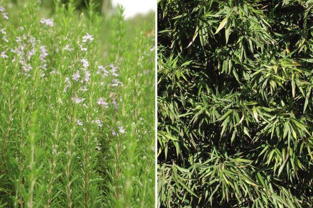Romero y bambú, dos especies que soportan bien los lugares ventosos.