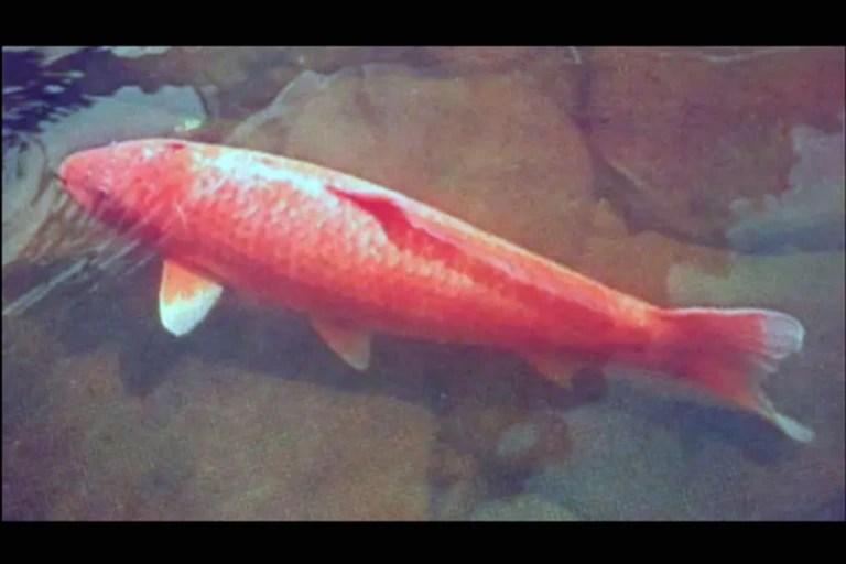 Así lucía Hanako en 1971, un pez koi hembra que vivió en el estanque del doctor Komei Koshihara durante ¡226 años!