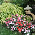 Lost Your Impatiens It Might Be Time To Try Again With A New Breed Pennlive Com