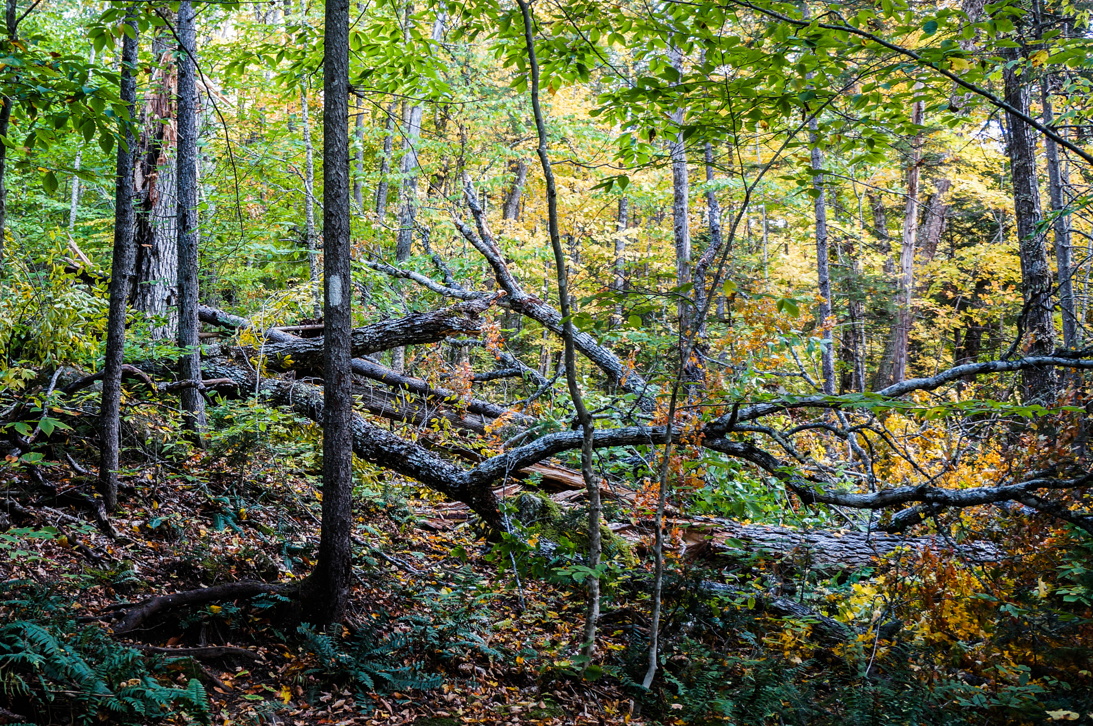 When A Tree Falls In The Woods… (day 147)  Patches Thru