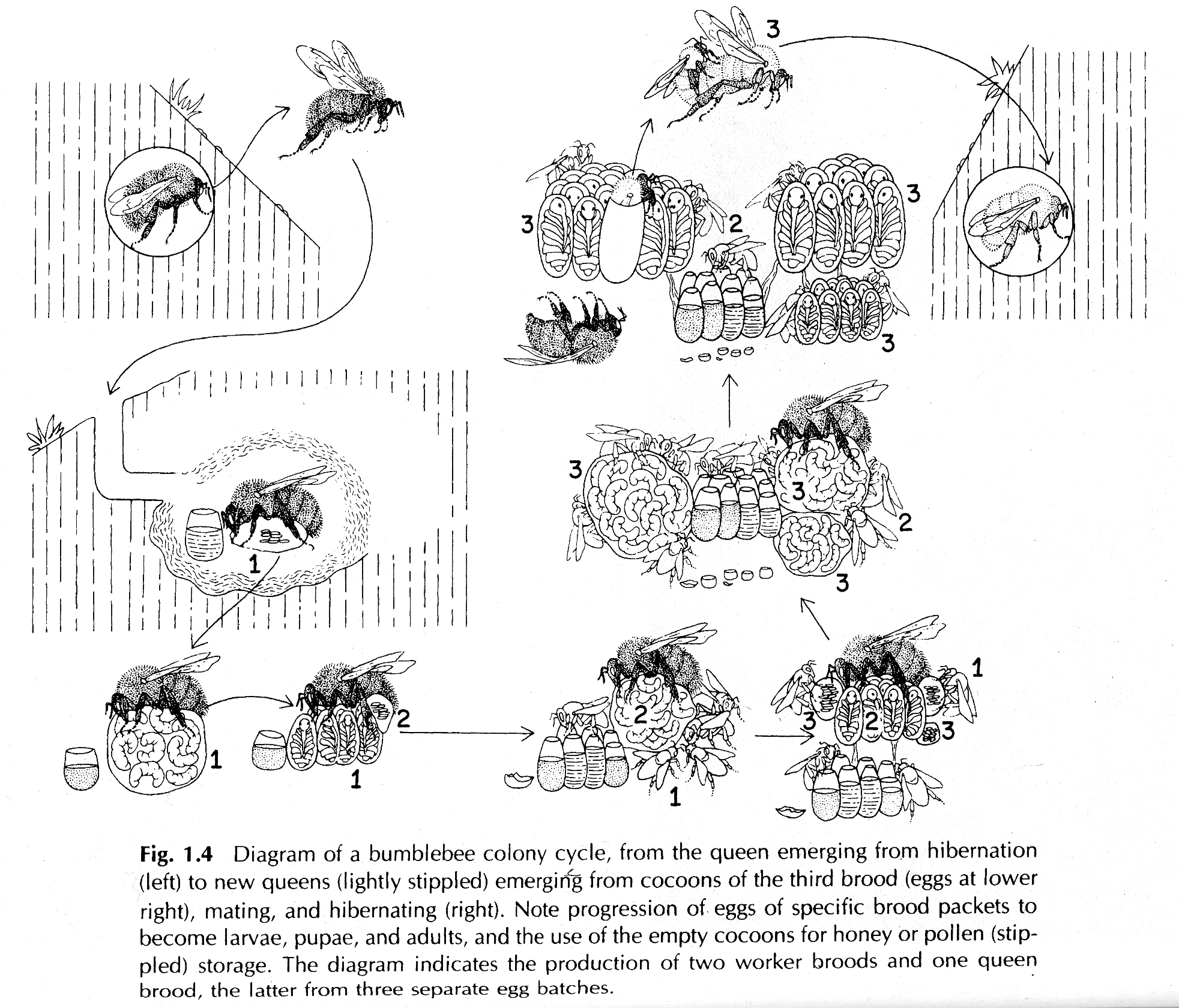 bumble bee diagram non addressable fire alarm system wiring about bees habitat and coevolution resonating bodies