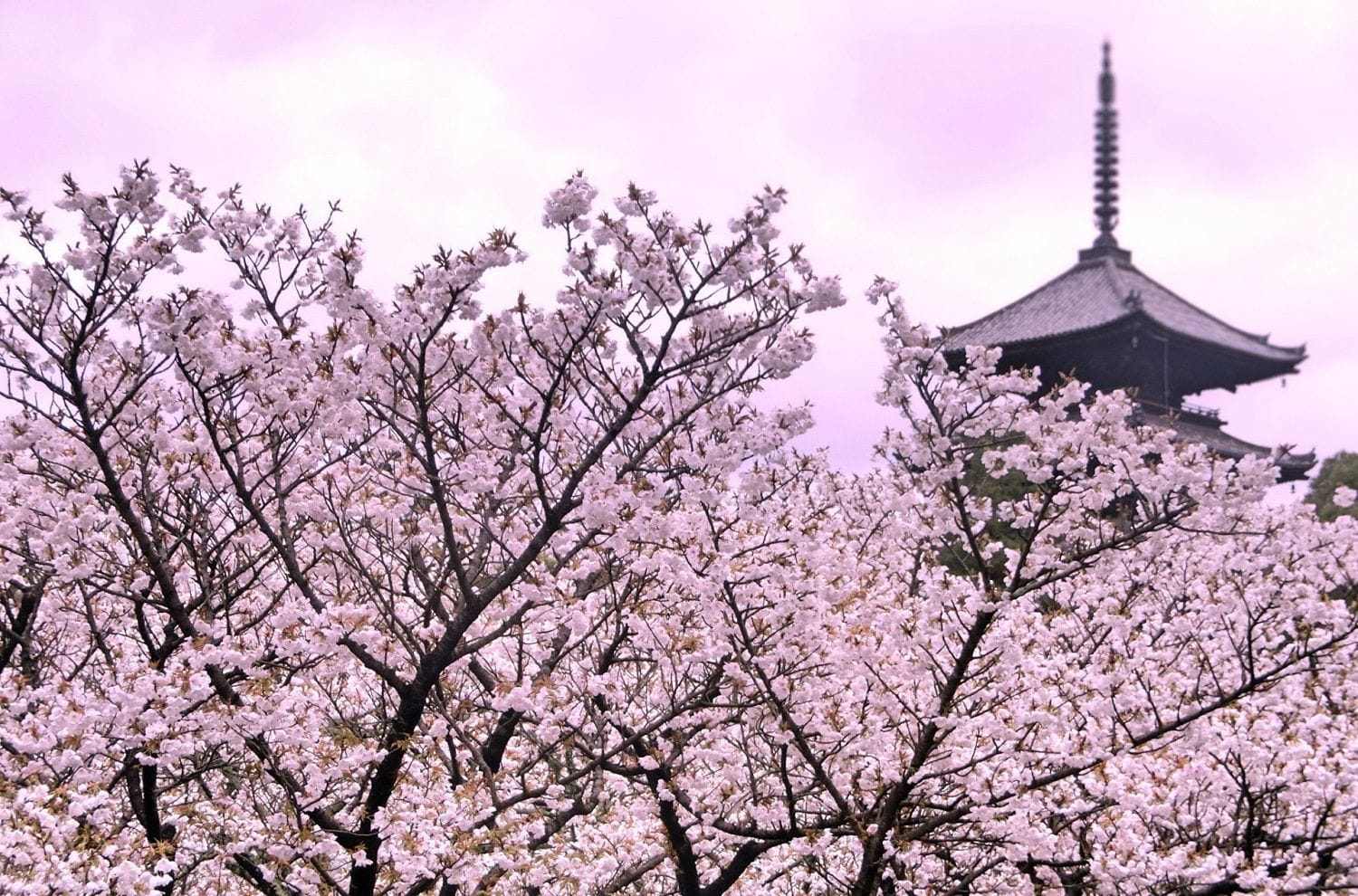 diagram the parts of cherry blossom tree directv swm 3 wiring japan s blossoms in 2019 forecast and best spots matcha 15 viewing kyoto