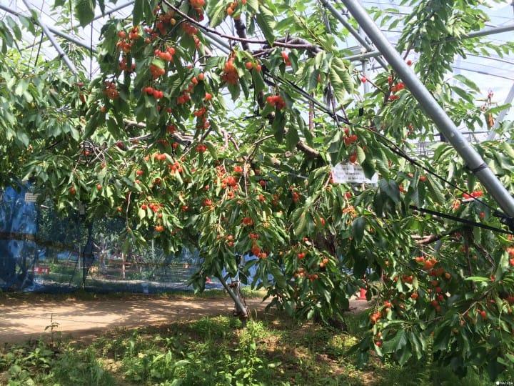 【北海道】夏季限定果園體驗!高級櫻桃自己摘吃到飽! - FunTime旅遊推薦