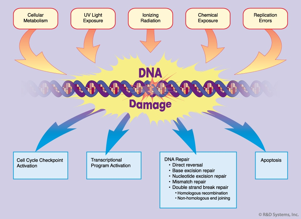 DNA Damage Response: R&D Systems