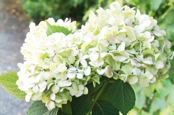 One Bunch Fresh Hydrangeas