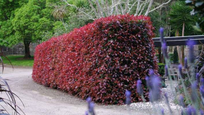 A Photinia 'Red Robin' hedge after it has been nursed back to health.