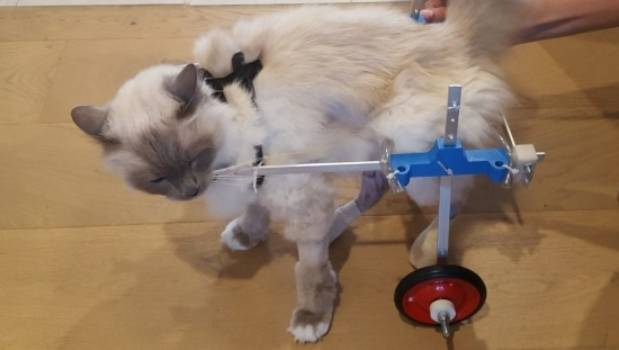 wheelchair for cats kelly ripa chair owner prints 3d cat injured in fall from sixth floor mozart the moggy was given a printed after breaking six bones falling off
