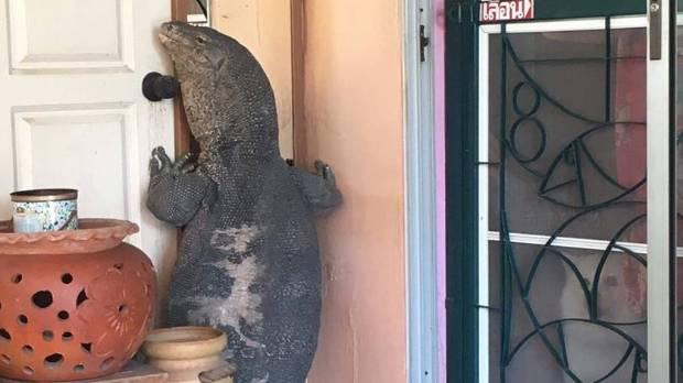 Giant lizard tries to break into house  Stuffconz