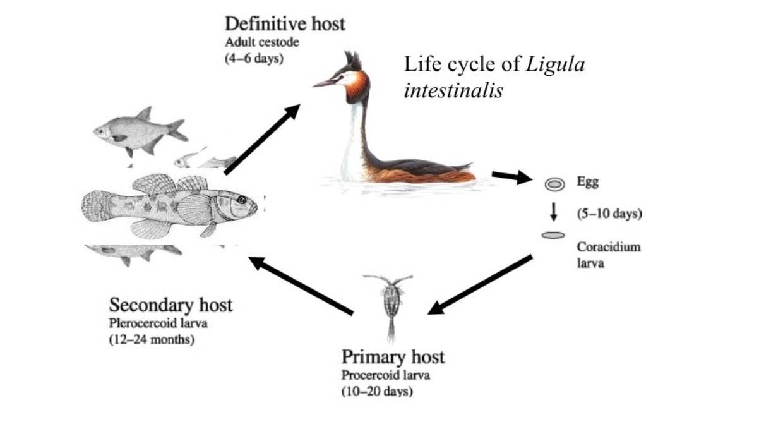 bird life cycle diagram 1974 honda ct70 wiring loon todayloon simple diagrams process