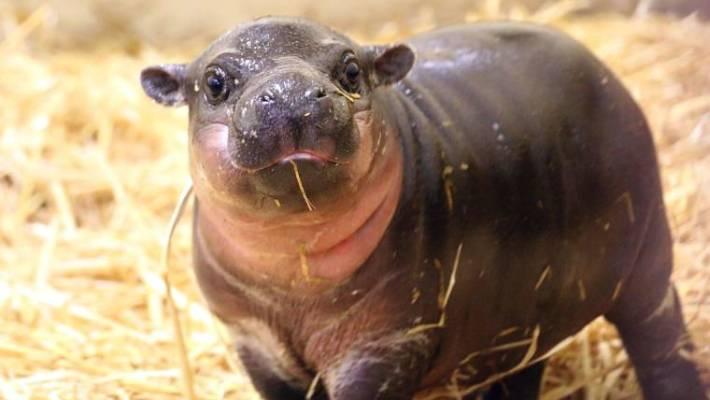 rare baby pygmy hippo