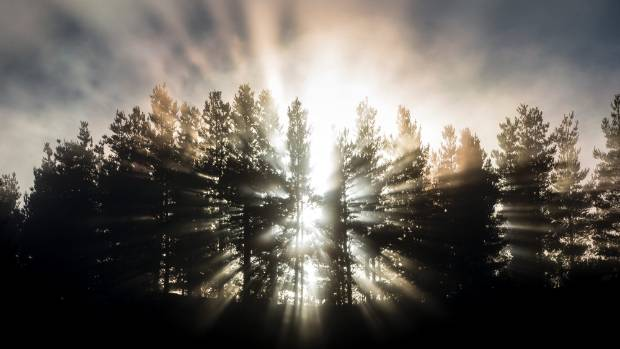 Morning sun burns through fog on pine trees.