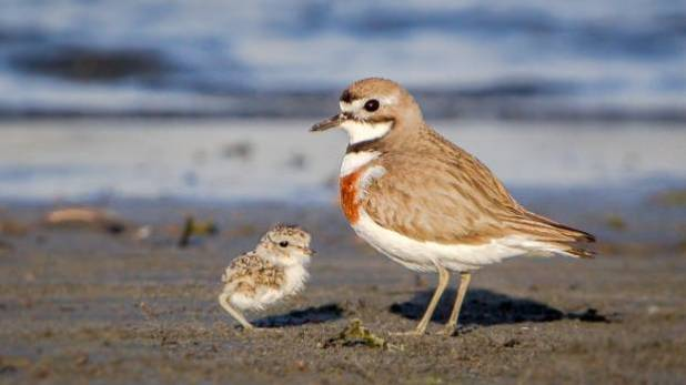 Banded dotterel chick and parent at Waikanae Estuary on the Kāpiti Coast.