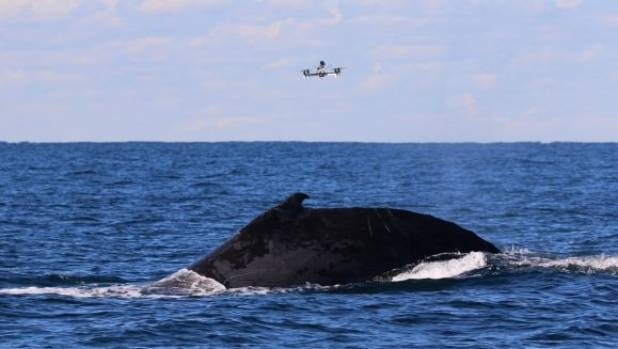 A drone hovers over a humpback whale, waiting for it to exhale.