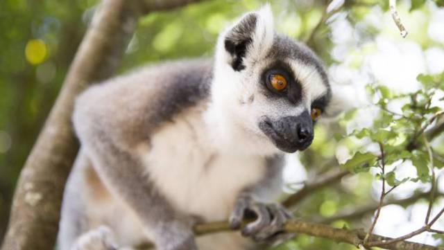 Lemurs look like monkeys