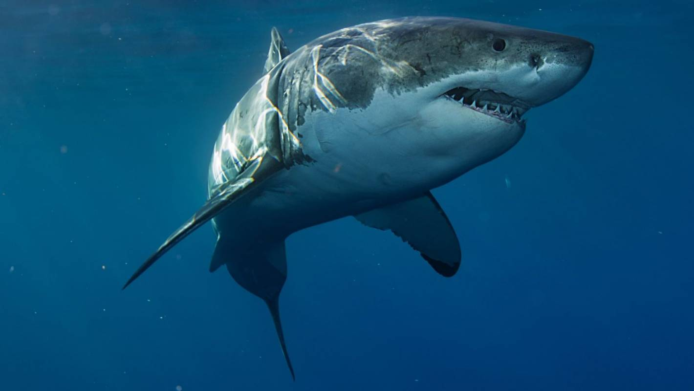 Great White Sharks Vanish From Cape Town And No One Knows