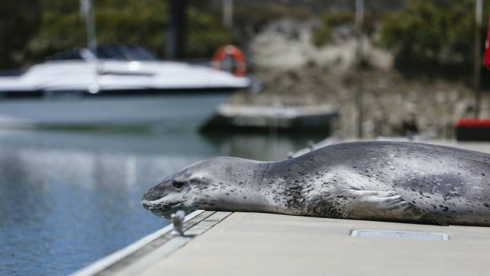auckland leopard seal owha