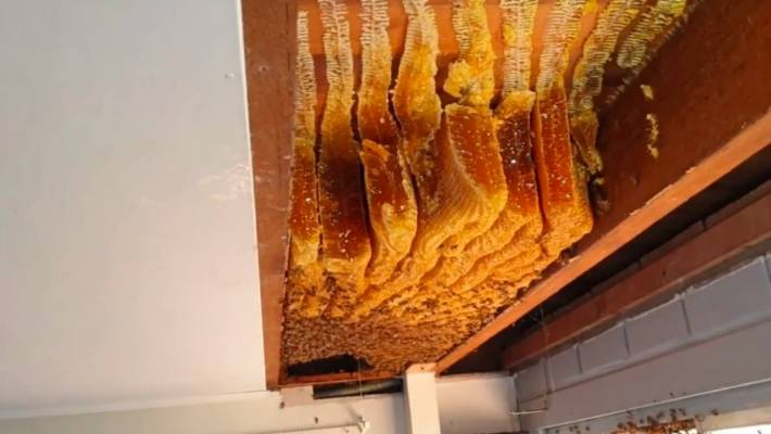 huge bee colony hidden