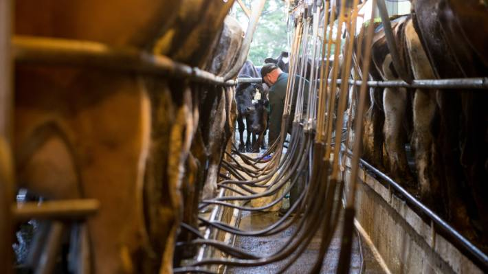 Tasman District now has 33 farms practising full-season once-a-day milking rather than the traditional twice-a-day regime. That's three more farms than last season.