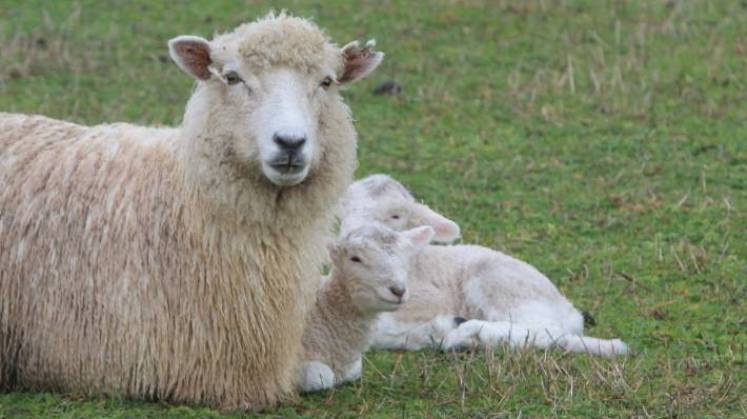 Some farms targeting the pre-Christmas market already have lambs on the ground (file pic).