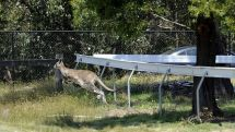 Kangaroos on track at hanging rock races