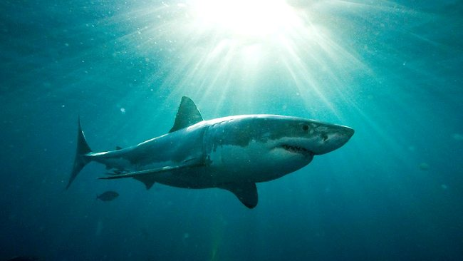 Great White Shark. Source: Courier-Mail