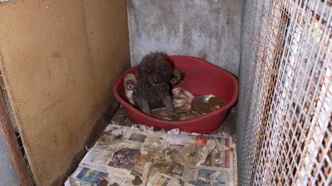 Conditions in Australian puppy factories are often just as bad. Photo: CLEO Magazine.