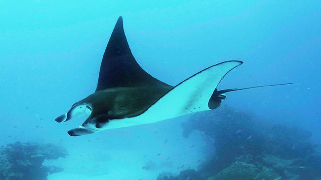 Image results for manta rays