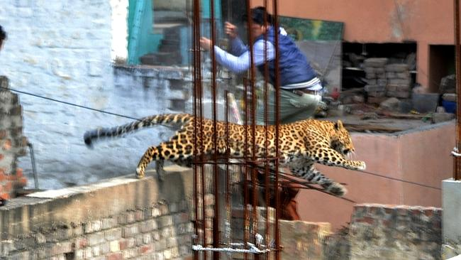 A leopard on the loose ... leaps across an under-construction structure near a furniture