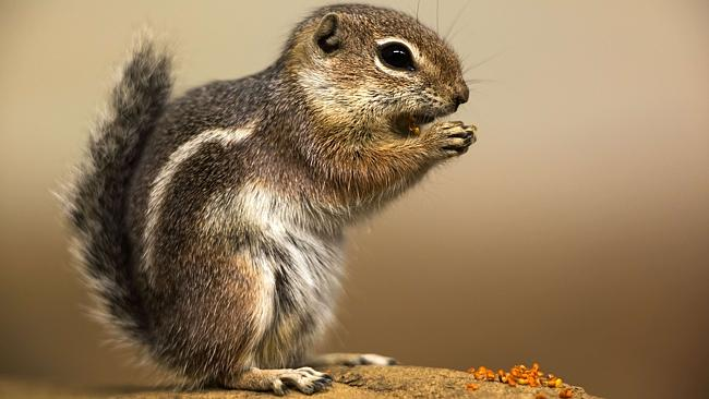 A Harris antelope squirrel.