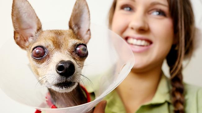 RSPCA fits chihuahua Aztec with prosthetic eyes in a hope ...