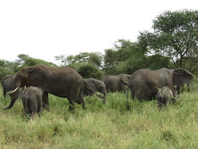 Mother elephants and their babies in a quiet corner of Tarangire National Park. Picture: