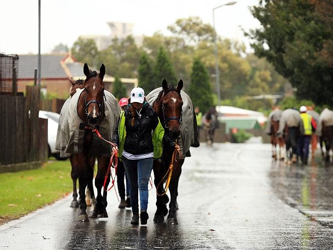 Horses return to their stables after the Randwick meeting was abandoned.