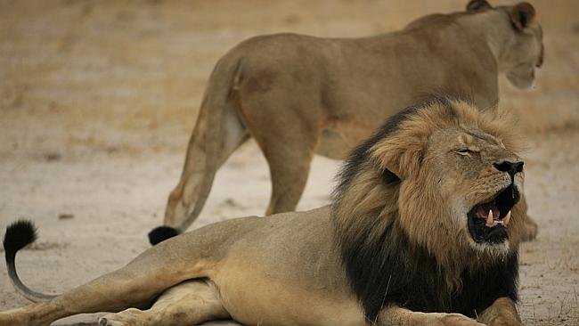 Cecil the lion pictured in 2012 before his brutal killing at the hands of an American den