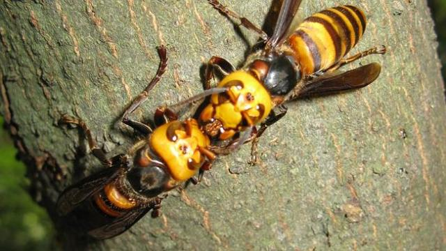 Two Asian giant hornets kissing or plotting mass murder or something. Photo: KENPEI