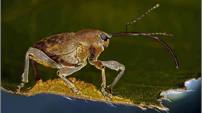A Weevil only 9mm in size perching on a leaf by Dr Csaba Pinter. Source: supplied