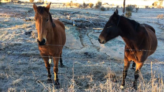 These horses brave a frosty morning in Stanthorpe where it was reported to be -6C. Pic: P