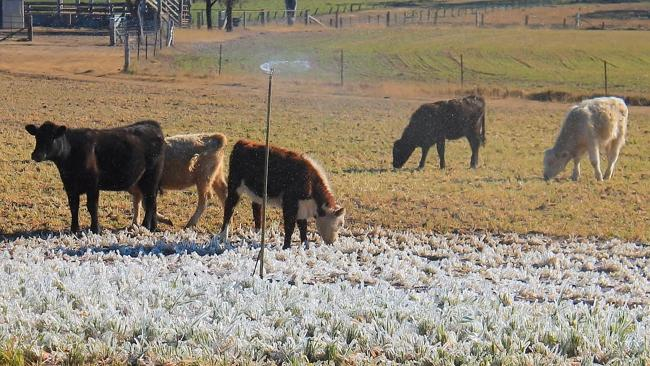 Cows among the frost at Warwick. Pic: Terry West, Southern Downs Weather and Stormchasing