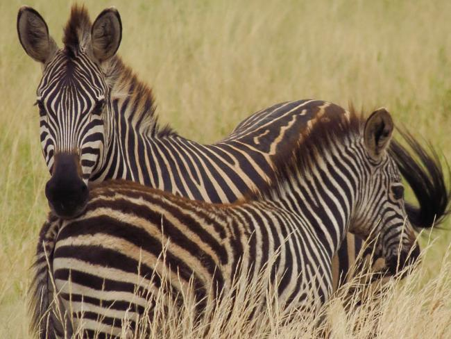 A baby zebra sticks close to its mother in Tarangire National Park. Picture: Sarah Nichol