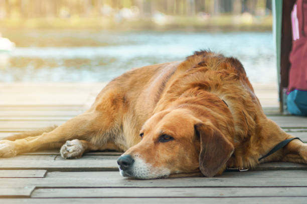 causes of old dogs dying